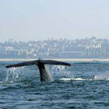 Dva otkucaja u minutu – to može samo srce plavih kitova 10