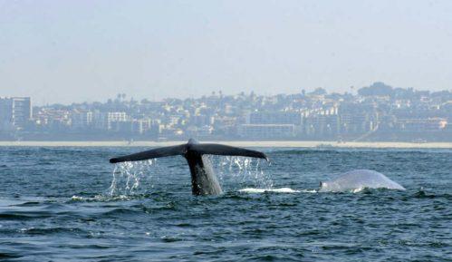 U utrobi kljunastog kita pronađeno 16 kilograma plastičnog otpada 7