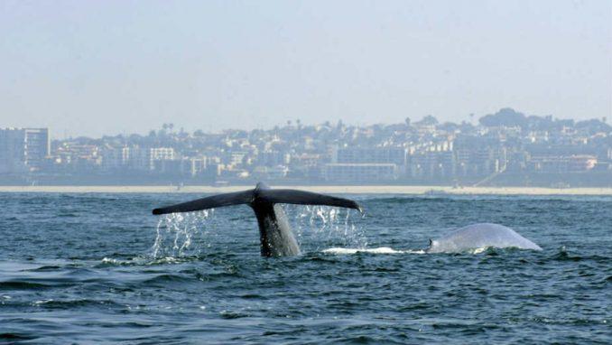 Dva otkucaja u minutu – to može samo srce plavih kitova 5