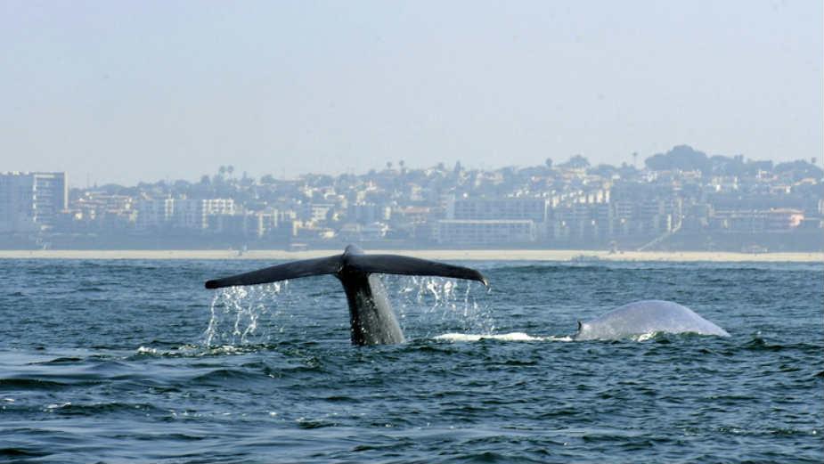 U utrobi kljunastog kita pronađeno 16 kilograma plastičnog otpada 1