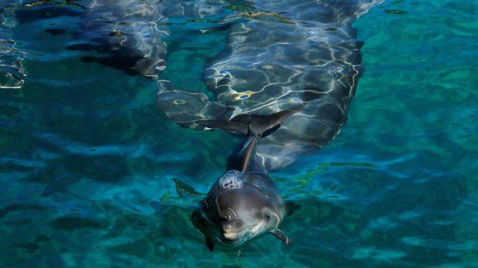 "Kako delfini ""kopiraju"" svoje prijatelje 1"