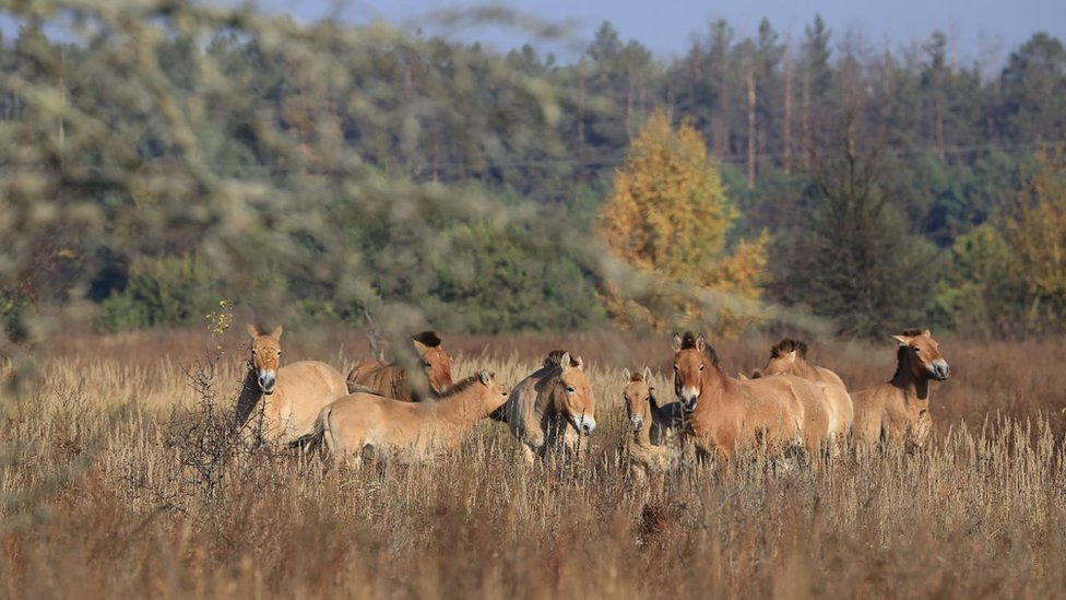 Przewalski's horses in the Chernobyl exclusion zone