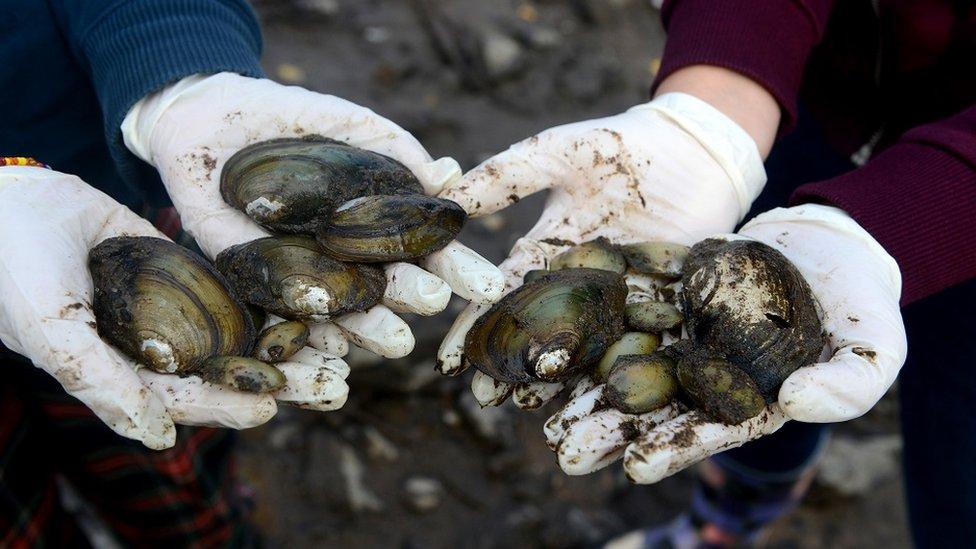 Environmental activist show endangered Duck mussels, Vltava river, Prague, October 2014.