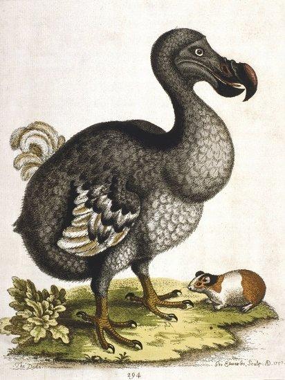 Antique portrait of dodo bird.