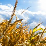 Statistika: Proizvodnja pšenice u Srbiji 23 odsto veća nego prošle godine, kukuruza manja 20 odsto 17