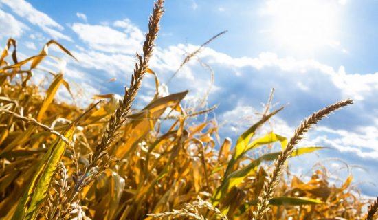 Statistika: Proizvodnja pšenice u Srbiji 23 odsto veća nego prošle godine, kukuruza manja 20 odsto 10