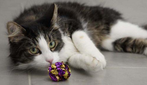 U Francuskoj prvi slučaj infekcije mačke korona virusom, zarazio je vlasnik 1