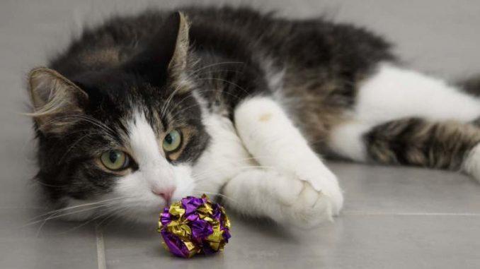 U Francuskoj prvi slučaj infekcije mačke korona virusom, zarazio je vlasnik 3