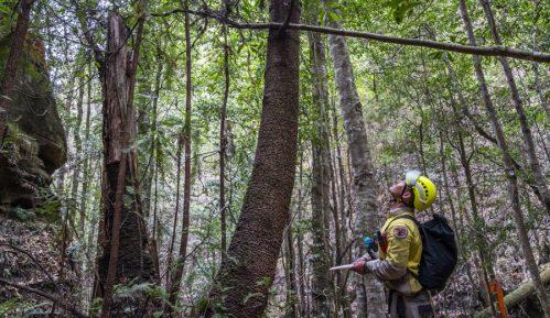 Australijski vatrogasci spasili retku vrstu bora od požara 1