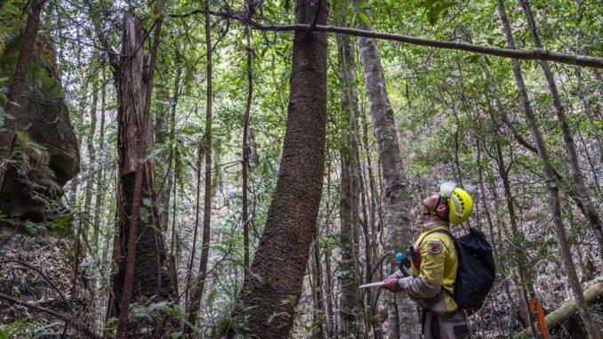 Australijski vatrogasci spasili retku vrstu bora od požara 4