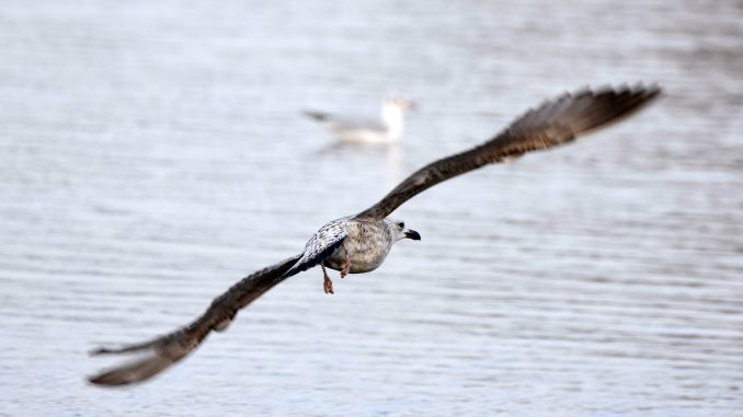 Počeo popis ptica vodenih staništa u Srbiji 6