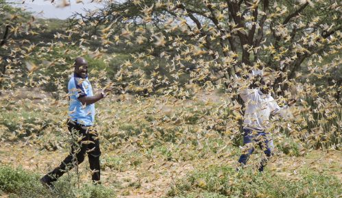 U istočnoj Africi najveća najezda skakavaca u poslednjih 25 godina 3