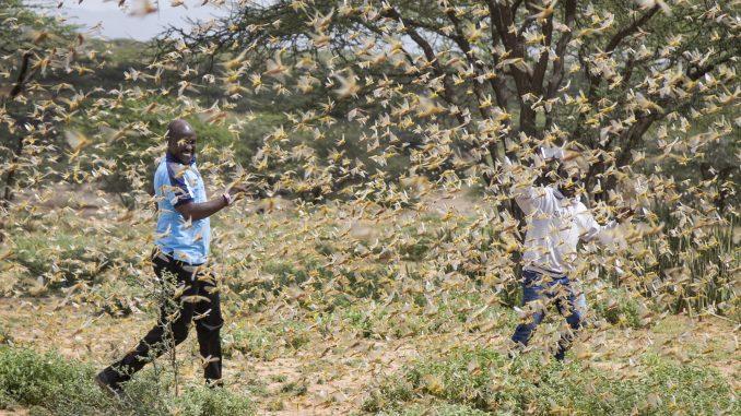 U istočnoj Africi najveća najezda skakavaca u poslednjih 25 godina 2