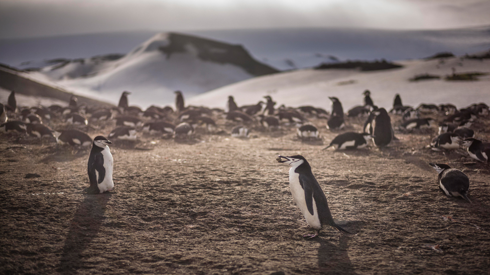 Chinstrap penguins collect rocks for their nests, taken in the Antarctic Peninsula, Antarctica, December 2015