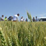 Usevi pšenice u Banatu u dobroj kondiciji 14