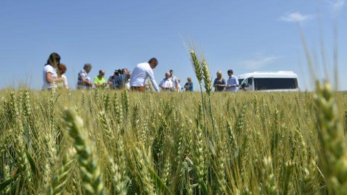 Usevi pšenice u Banatu u dobroj kondiciji 2