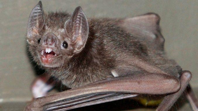 Nauka o životinjama: Zašto se šišmiši-vampiri ljube na francuski način 3