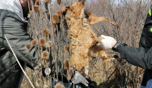 Sistematsko trovanje šakala kod Novog Kneževca pokosiilo strogo zaštićene vrste 2