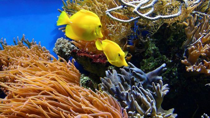 Da li će korali preživeti klimatske promene? 1