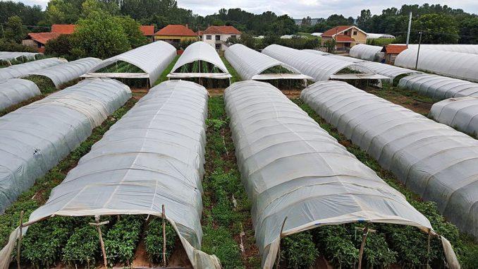 Korona virus: Zašto u Srbiji stoka jede hranu za ljude 2