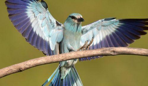 Društvo za zaštitu ptica: Otkriveno da modrovrana iz Srbije boravi i u Namibiji 5