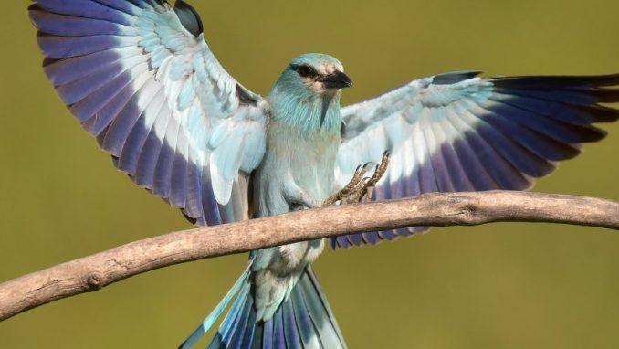 Društvo za zaštitu ptica: Otkriveno da modrovrana iz Srbije boravi i u Namibiji 4