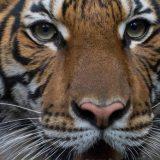 Radnicu u safari parku u Čileu usmrtio tigar 2