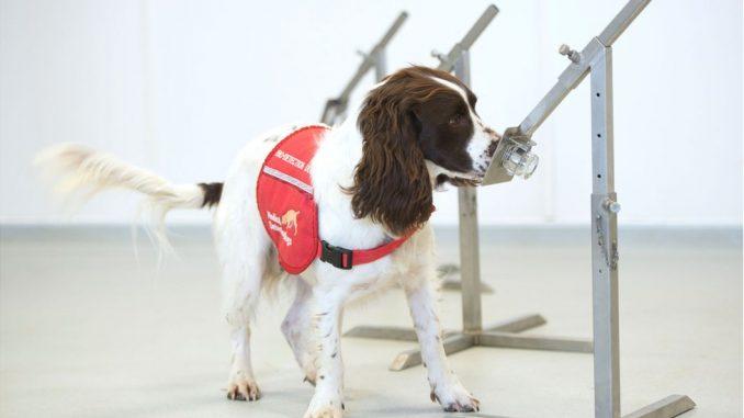 Korona virus: Počinju testiranja kojim će se utvrditi da li psi mogu da nanjuše Kovid 19 4