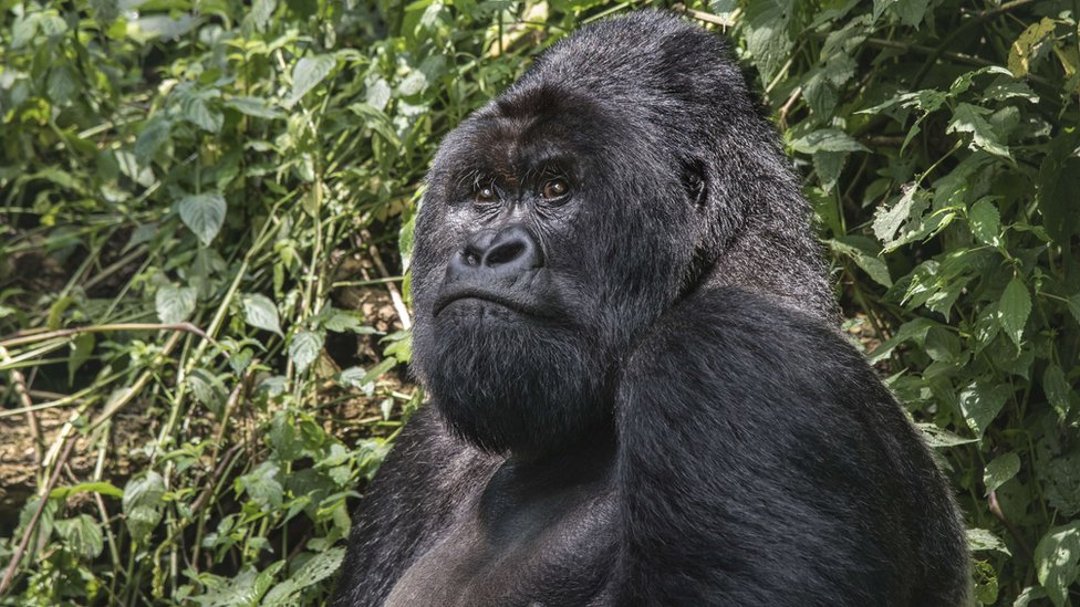 A 25-year old silverback (male adult) mountain gorilla sits in the jungle of the Virunga National Park