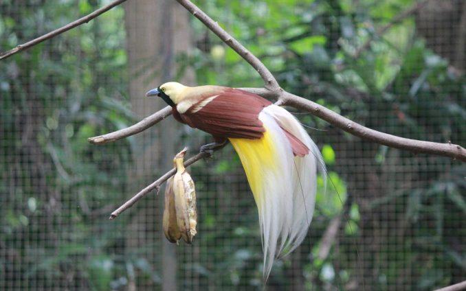 Papua Nova Gvineja: Neobične rajske ptice 4