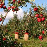U topličkom kraju odličan rod jabuka i krušaka, a nema organizovanog otkupa 11
