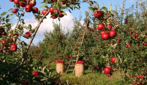 U topličkom kraju odličan rod jabuka i krušaka, a nema organizovanog otkupa 5