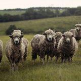 Odgajivači traže otvaranje klanice za preradu ovčijeg i jagnjećeg mesa u Šumadiji 11