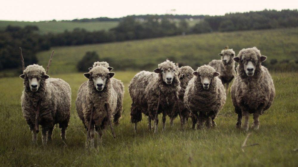 Odgajivači traže otvaranje klanice za preradu ovčijeg i jagnjećeg mesa u Šumadiji 1