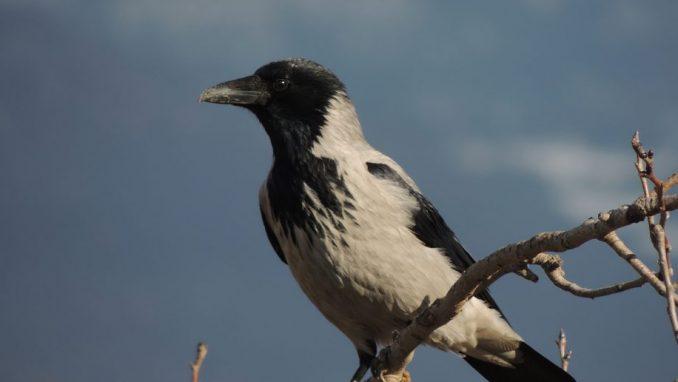 Vrane napadaju ljude u blizini gnezda jer se boje za svoje mladunce 3