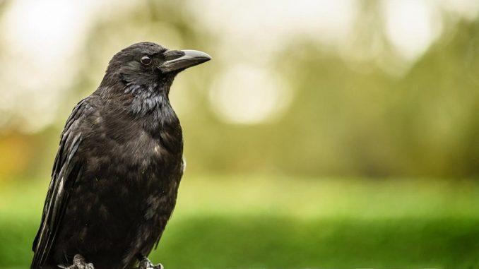 Ptice i ljudi: Šta da radite ako vas napadnu vrane 4