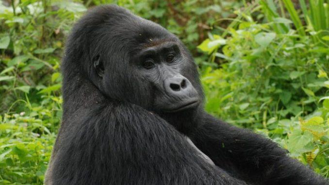 Zaštita životinja: Ubijena jedna od najpoznatijih planiskih gorila – Rafiki 2
