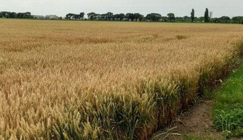 Savez poljoprivrednika Banata: Pšenica mora biti 22 dinara 5