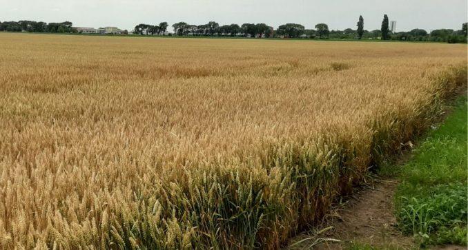 Saković: Setva pšenice u Srbiji pri kraju, požnjevena se malo izvozi 1