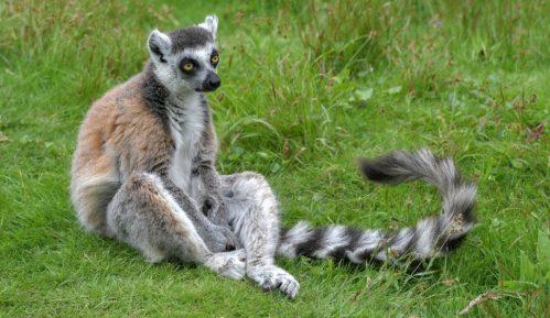 Promena klime preti opstanku jednog od simbola Madagaskara 13