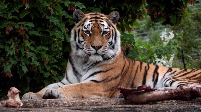 Tigrica pred posetiocima ubila radnicu zoološkog vrta 4