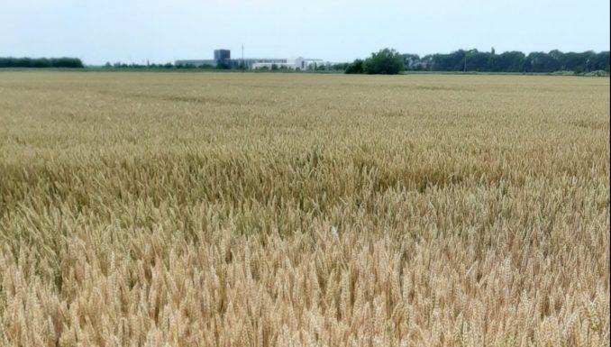Poljoprivrednici Banata: Netačne tvrdnje da je pšenica skupa u Srbiji 2