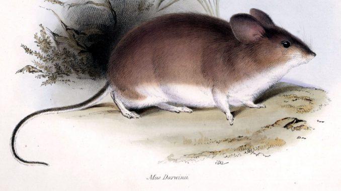 Miš koji živi u najekstremnijim uslovima na Zemlji 1