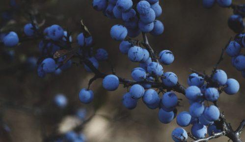 U Srbiji pod borovnicom oko 2.000 hektara, najviše se izvozi u Rusiju i Holandiju 3