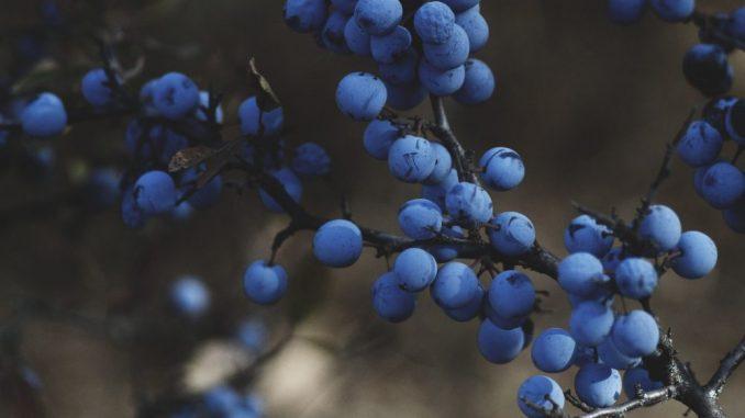 U Srbiji pod borovnicom oko 2.000 hektara, najviše se izvozi u Rusiju i Holandiju 2