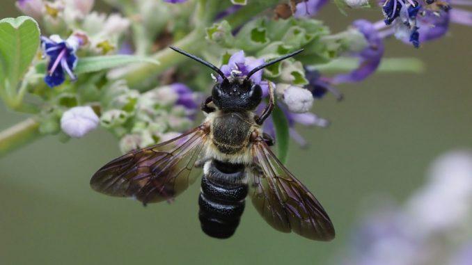 Prikupite podatke o azijskoj pčeli smolarici 1