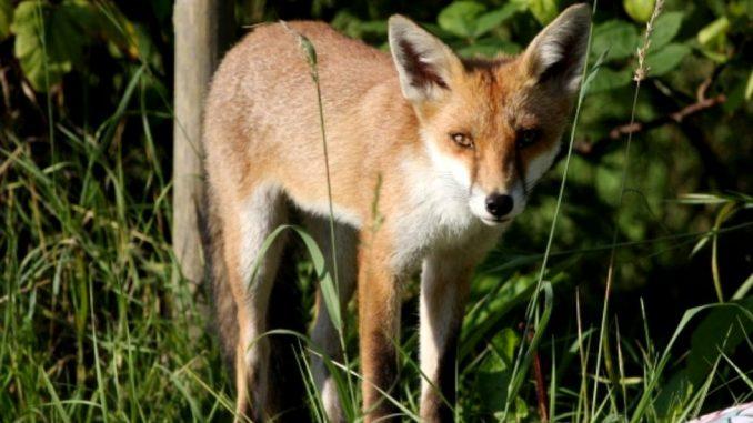 Priroda: Pronađena lisica sa impresivnom kolekcijom obuće u Nemačkoj 4