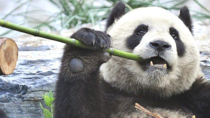 Životinje: Bitka za spas pandi škodi drugim sisarima, upozoravaju naučnici 3