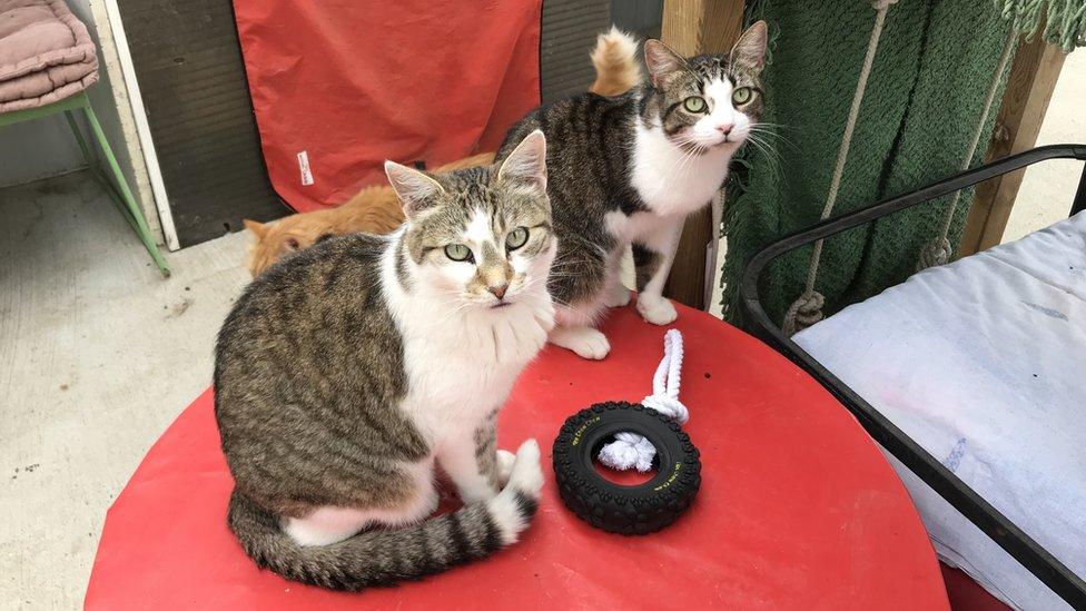 Mačke iz Tuluza