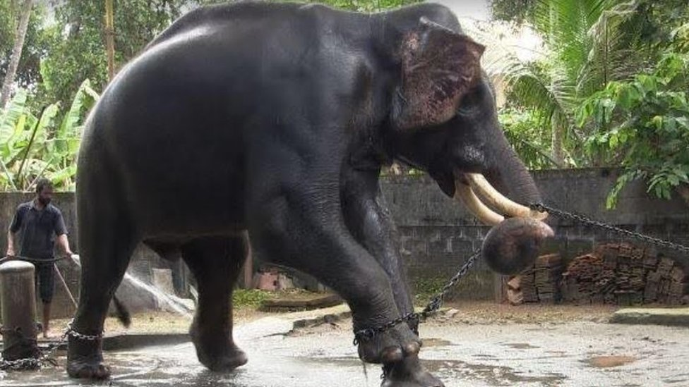 A temple elephant tied with an iron chain